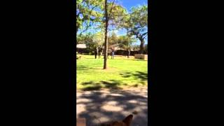 A  Dog's Rattlesnake Training