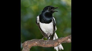 Suara Nyanyian Ocehan Kicauan Burung KACER | High Sound Quality