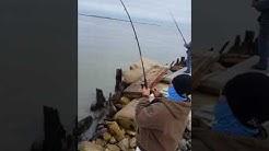 Black drum fishing in Morgans Point TX