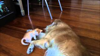 Tiny Kitten And Golden Retriever Playing