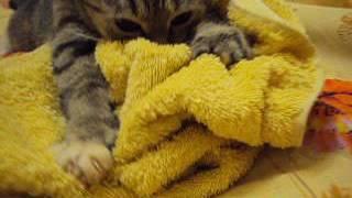 Кошка Ромашка мнёт жёлтое полотенце!