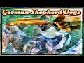 German Shepherd Pups at Beatty's Farm