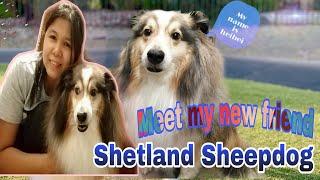 My new friend buddy | Shetland Sheepdog |