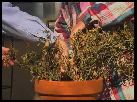 how to prune miniature roses - Mini Roses Care Indoor