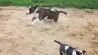 子犬そっちのけ…砂場で大興奮する親犬(動画)