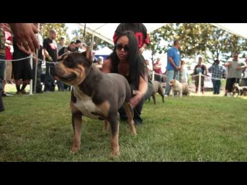 AMERICAN BULLY SHOW - BULLY STACK OFF