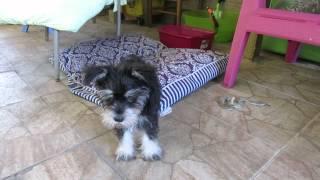 Piper The Fearless Schnauzer Puppy Barks At Zhu Zhu Pet.