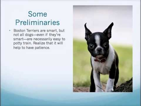 How to potty train a puppy boston terrier