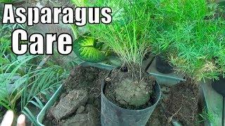 How to Divide Asparagus Fern + Growing Season