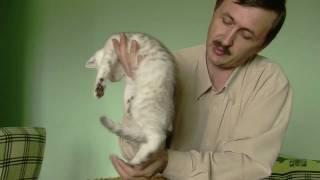 Котятки британчики (шиншиллы) редкого окраса