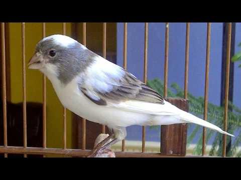 Download Lagu Suara Burung Kenari Gacor Kicau Panjang - Cocok Untuk pancingan Kenari Bisu