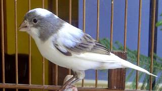 Suara Burung Kenari Gacor Kicau Panjang - Cocok Untuk pancingan Kenari Bisu