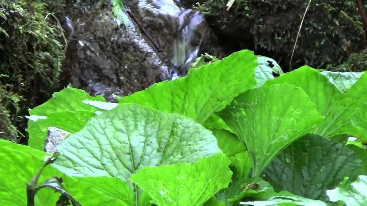 wasabi stream