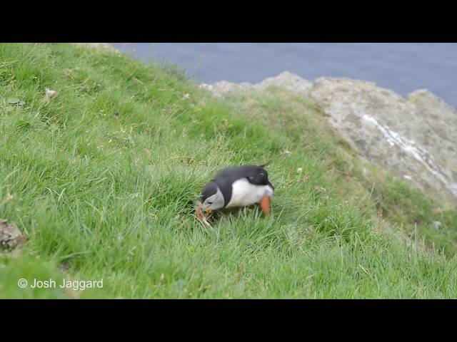 How long does it take a Puffin to get a feather in its burrow?