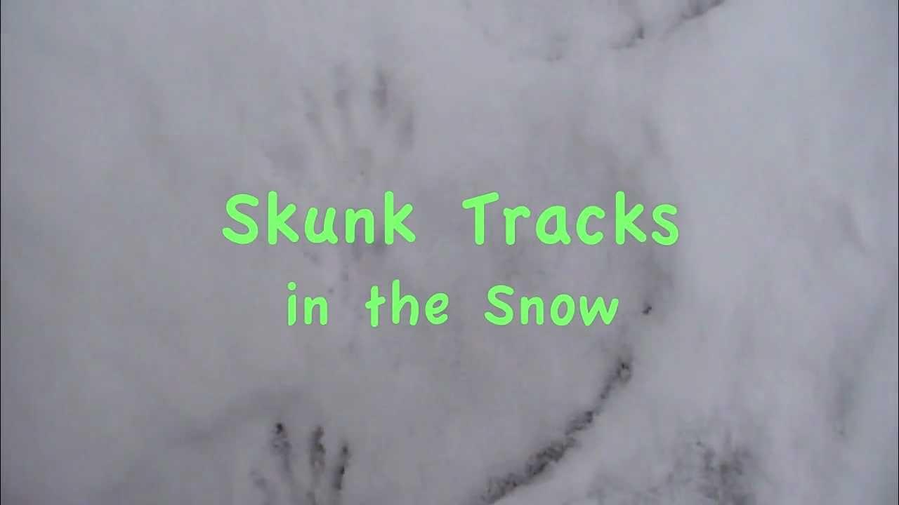 skunk tracks in the snow youtube
