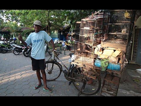 DUNIA HOBI : Mengharukan! Penjual Burung Sepeda Ontelan Dari Wonosari Di Pasar Pasty