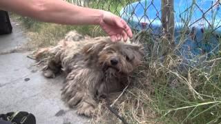 Спасение маленькой обросшей собаки.