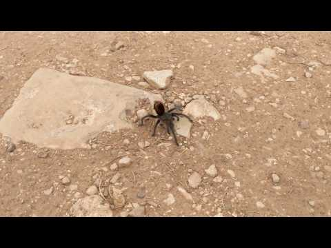 Grand Canyon Black Tarantula Spider - Grand Canyon National Park Arizona