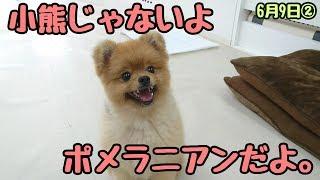 ずんぐりしてるよ。 カニヘンダックス ルナちゃん チワワ ミミちゃん ト...