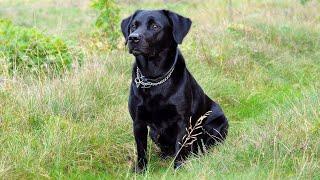 Black Labrador Barking Voice | My Cute Lovely Labra Dog | Forever Wild |