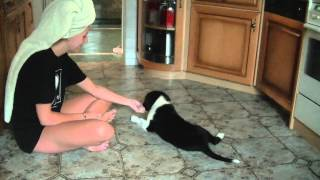 Border Collie Zoe - How To Teach Your Dog High 5 - First Step