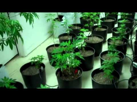 Grow Medical Cannabis The Easy Way