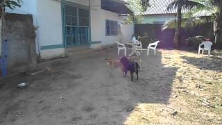 Phuket Dog Resort - Karon, Boofy, Mane And Nono Playing