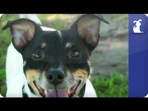 Doglopedia - Jack Russell Terrier