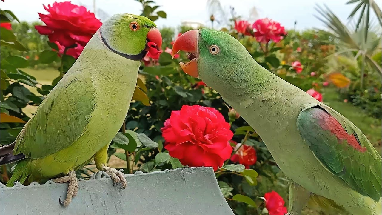 Natural Parrot Sounds and Chirping