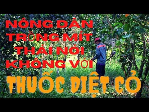 Muốn Vườn Mít Thái Phát Triển Lâu Dài Bền Vững Hãy Nói Không Với Thuốc Diệt Cỏ