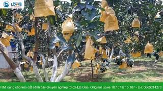 Thăm vườn bưởi diễn nhà Anh Lộc ở Sơn Tây, Hà Nội