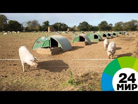 ТОР в Приморье: передовые технологии развития свиноводства - МИР 24