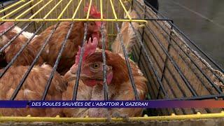 Yvelines | Des poules sauvées de l'abattoir à Gazeran
