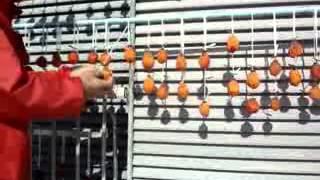 Fuyu Japanese Persimmon  kurutma2
