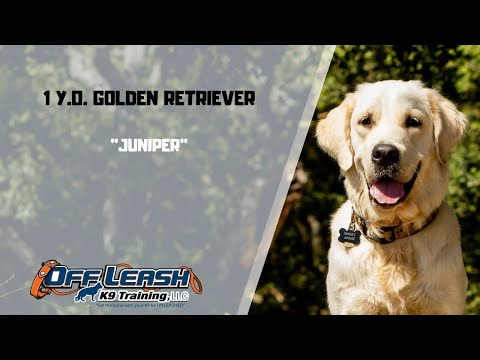 golden-retriever-/-dog-training