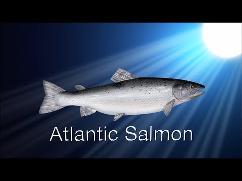 Species In The Spotlight: Atlantic Salmon