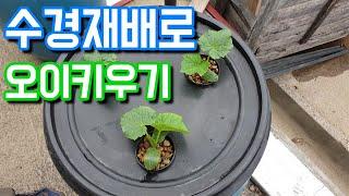 수경재배로 오이키우기/수경재배 시작-[콘크리트 팜]
