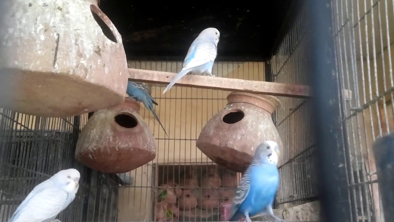 Male budgie mating behavior - Budgies Online