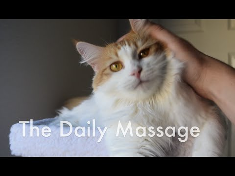 Maine Coon Cat Massage Time (Maine Coon Cat)