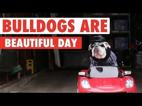 Funny Bulldog Videos | Bulldogs Are Beautiful Day