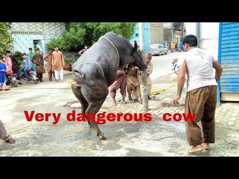 very dangerous cow qurbani 2017 |  khtrnak cow  2017 bari eid