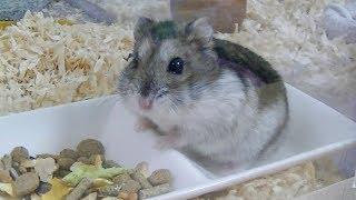 ジャンガリアンハムスターかわいい☆真夜中の観察☆お食事編 Jungarian hamster cute ☆ observation at midnight ☆ meal