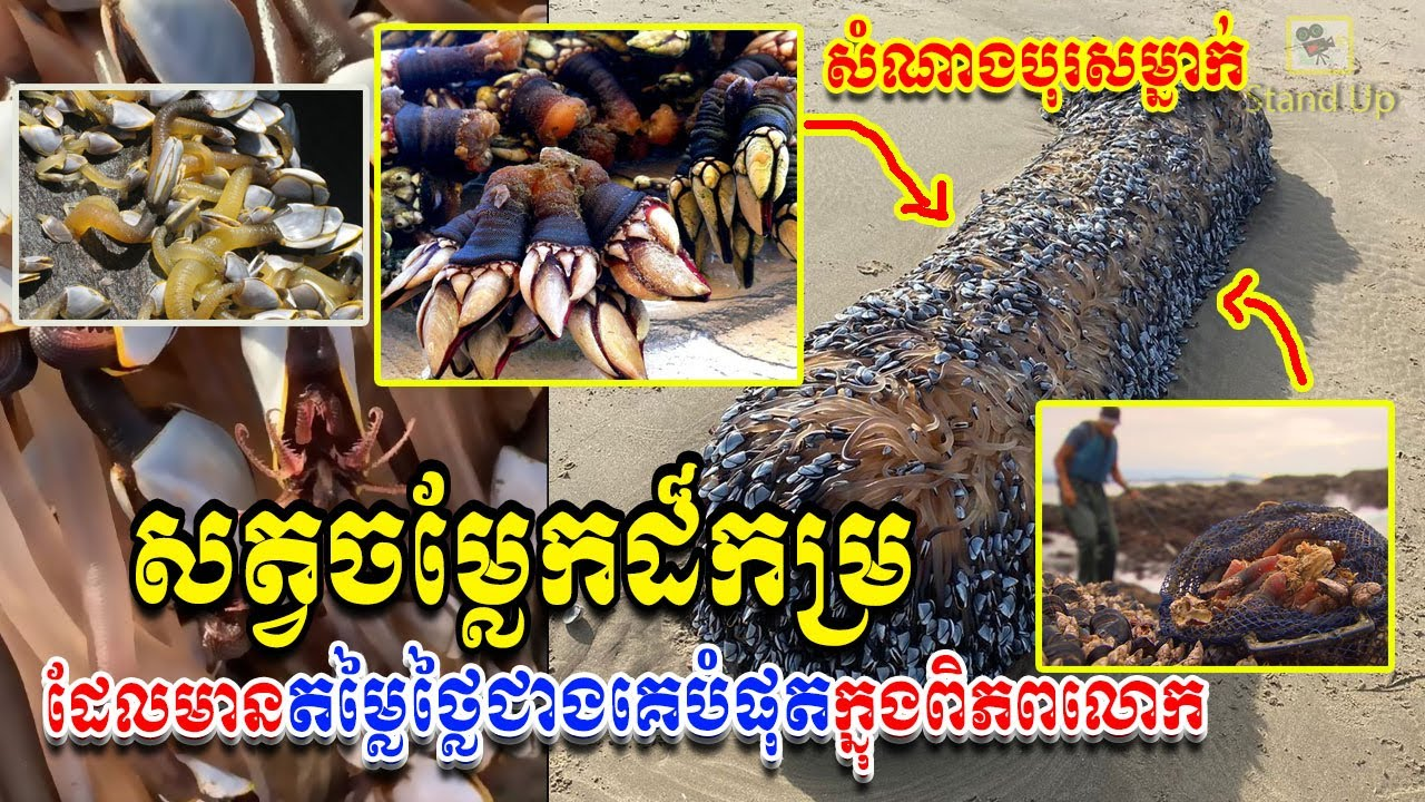 ក្តៅៗ សំណាងណាស់! ទៅដើរលេងសុខៗ ប្រទះឃើញសត្វសមុទ្រមានតម្លៃថ្លៃជាងគេលើលោក, Khmer News Today, Stand Up