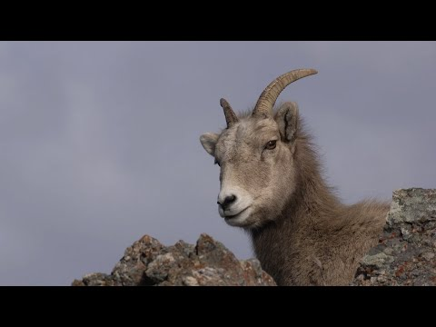 Bighorn Sheep Restoration: Efforts in the Greater Yellowstone
