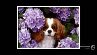Кавалер кинг чарльз спаниель порода собак