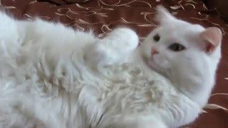 кот МАКС -турецкая ангора.Макс спит))классное видео!Смореть всем!