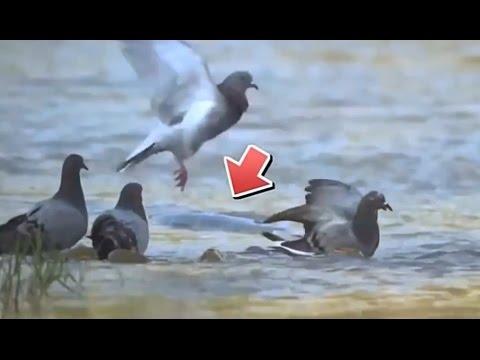 Sadis Ikan Lele Makan Burung Merpati Youtube