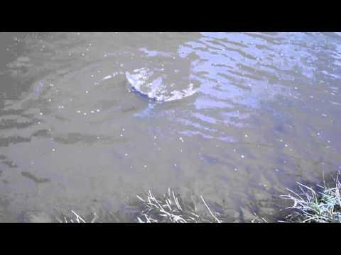 Spring Salmon On The River Torridge
