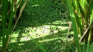 Azolla cultivation in paddy field | அசோலா