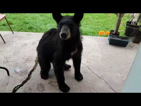 VIDEO: Black bear tries to enter Dorion home